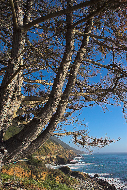 Growing out of the rocky coastal cliffs overlooking the Pacific ocean, a hearty tree reaches toward the sun.