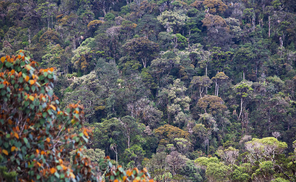 High altitude temperate rainforest in the highlands of Papua New Guinea.
