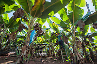 A woman works in a banana plantation in Northern Laos