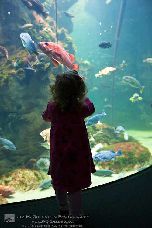 An inquisitive young  girl watches fish swim in a large aquarium tank at the California Academy of Science in San Francisco