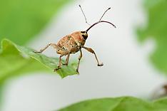 Weevils | Rüsselkäfer
