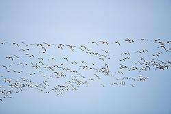 flying flock of Snow Geese (Chen caerulescens)  at Fir Island, Skagit River delta, Puget Sound, Washington, USA