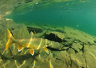 Lake Trout<br />