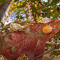 Marbled Orb Weaver (Araneus marmoreus), also known as the Halloween Spider, resting in a curled leaf in Autumn, South Carolina, USA