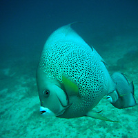 A pair of Grey Angelfish in Miami, FL.