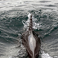Central America, Costa Rica, Golfo Dulce. Common Bottlenose Dolphin at play in boat wake in Golfo Dulce.
