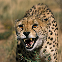 Cheetah snarling. Cheetahs are built for speed not strength so will back down from most competitors and this sort of aggression is pure bluff. A cheetah that loses a meal will go hungry and an injured cheetah may well starve to death.