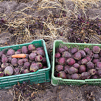 Beets at harvest time, Poland