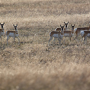 Pronghorn, Badlands National Park, South Dakota, USA.