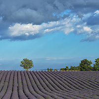 Lavender Field,Vaucluse,Provence,France,Europe