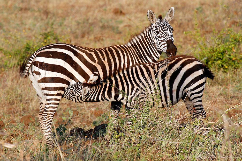Africa, Kenya, Meru. Zebra mother nursing foal in Meru National Park.