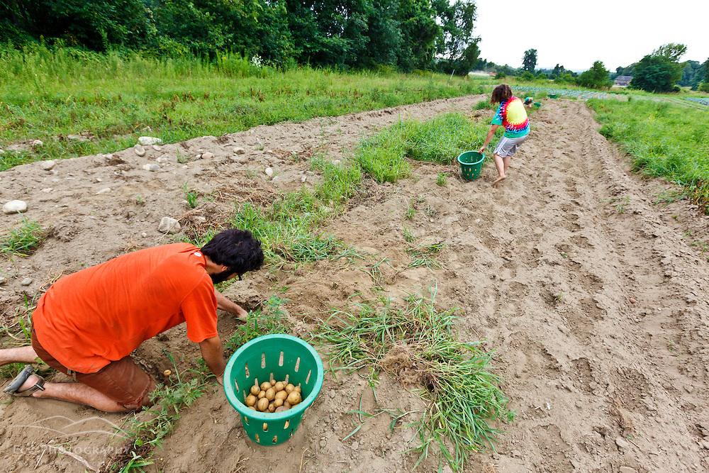 Farmhands Tom Crimer and Leah Visconti harvest potatoes at the Crimson and Clover Farm in Northampton, Massachusetts.