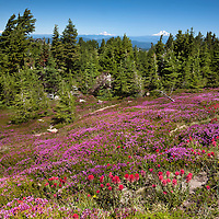 OR01677-00...OREGON - Brightly colored paintbrush and heather in a meadow along the McNeil Point Trail in the Mount Hood Wilderness area with Mount Adams, Mount Rainier and Mount St. Helens in the distance.