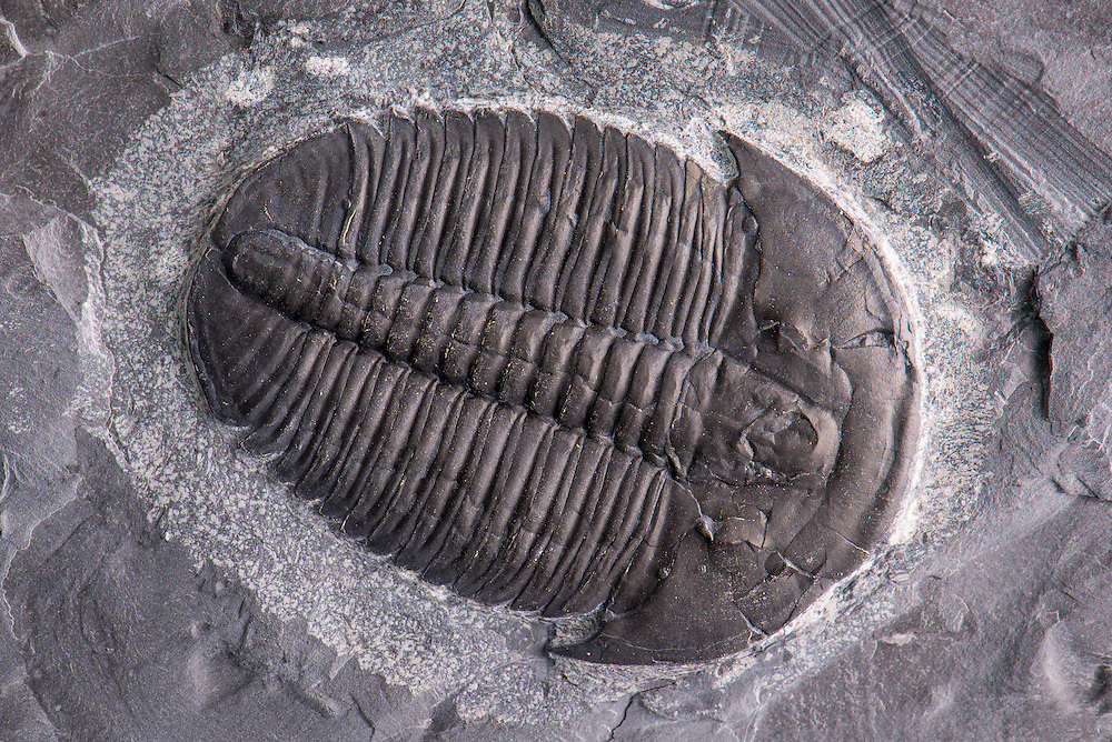 This is a phenomenal and large example of the common Elrathia kingii (sagittal length: 46mm) from the Middle Cambrian of Utah.