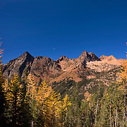 Golden Larch trees (Pseudolarix amabilis) at the peak of their fall color frame Whistler Mountain (left) and Cutthroat Peak in the North Cascades of Washington state. The half moon begins to set behind Cutthroat Pass. Golden Larches, while not considered true larches, are known for shedding their needles each fall. The needles grow back each spring and transition from deep green to blue green over the course of the summer. In late September or early October, the needles turn golden and drop, just like the leaves on deciduous trees.