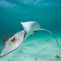 Cayman Islands, Grand Cayman Island, Underwater view of Southern Stingray (Dasyatis americana)  in shallow water near Stingray City in Caribbean Sea