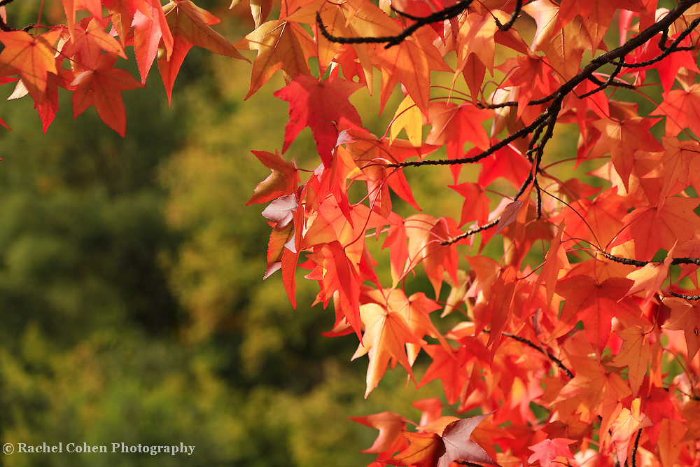 &quot;Autumn Cornered&quot;<br /> <br /> A delightful sunbathed Maple tree in peak foliage!!<br /> <br /> Fall Foliage by Rachel Cohen