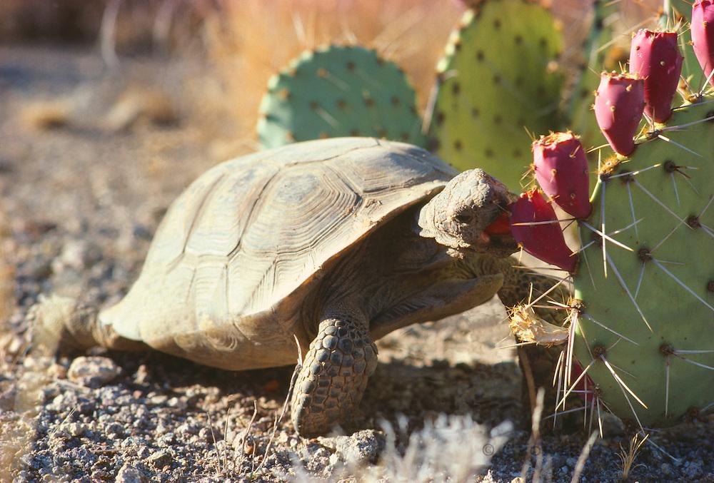 350101-1054C ~ Copyright: George H. H. Huey ~ Desert tortoise (Gopherus agassizi) eating prickly pear cactus fruit. Sonoran Desert, Arizona.