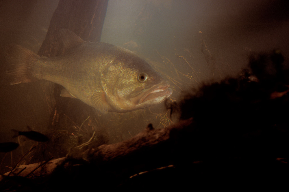 Micropterus salmoides, Large Mouth Bass, underwater, habitat, environmental, portrait, studio set