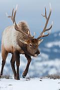 Bull Elk (Cervus elaphus), Yellowstone National Park, Wyoming