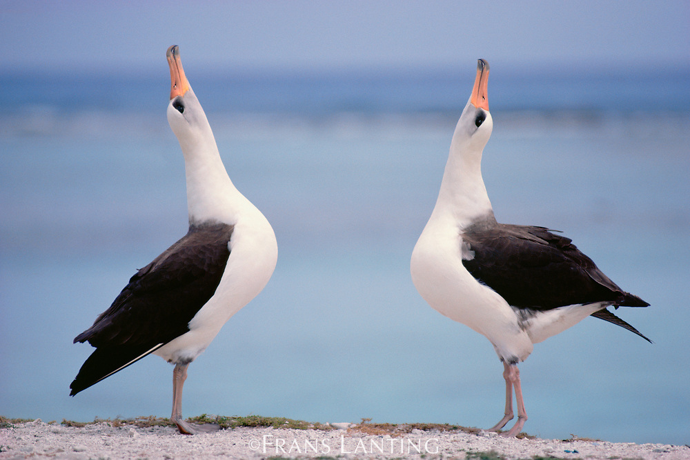 Laysan albatrosses courting, Phoebastria immutabilis, Hawaiian Leeward Islands