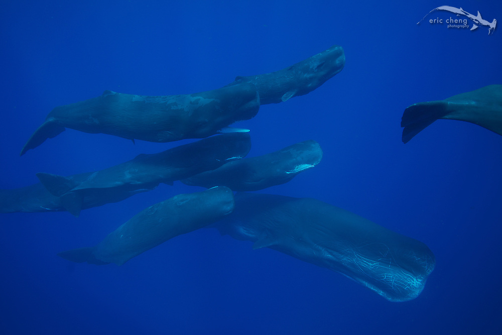 A large male sperm whales (Physeter macrocephalus) arrives and attracts 8 juvenile and female whales.