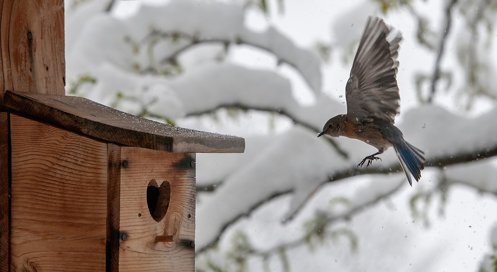 em042817g/a/A western bluebird returns to its nest to warm her eggs and recheck the calendar near Santa Fe Saturday April 29, 2017. The area got 9 inches of snow Saturday. (Eddie Moore/Albuquerque Journal