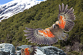 Kea - Alpine Parrot - Pictures - Photos