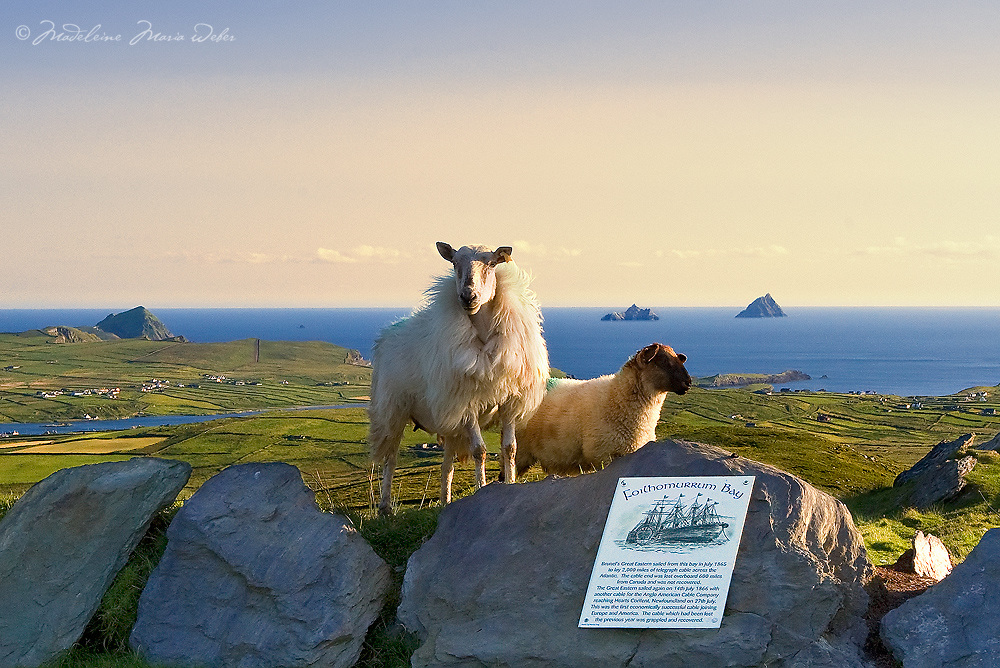 View on the Great Skelligs from Valentia Island with sheep in the foreground, Iveragh Peninsula, Ring of Kerry, southwest ireland / vl096 I love the Skelligs, ****** <br /> <br /> Visit &amp; browse through my Photography &amp; Art Gallery, located on the Wild Atlantic Way &amp; Skellig Ring between Waterville and Ballinskelligs (Skellig Coast R567), only 3 minutes from the main Ring of Kerry road.<br /> https://goo.gl/maps/syg6bd3KQtw<br /> <br /> ******<br /> <br /> Contact: 085 7803273 from an Irish mobile phone or +353 85 7803273 from an international mobile phone