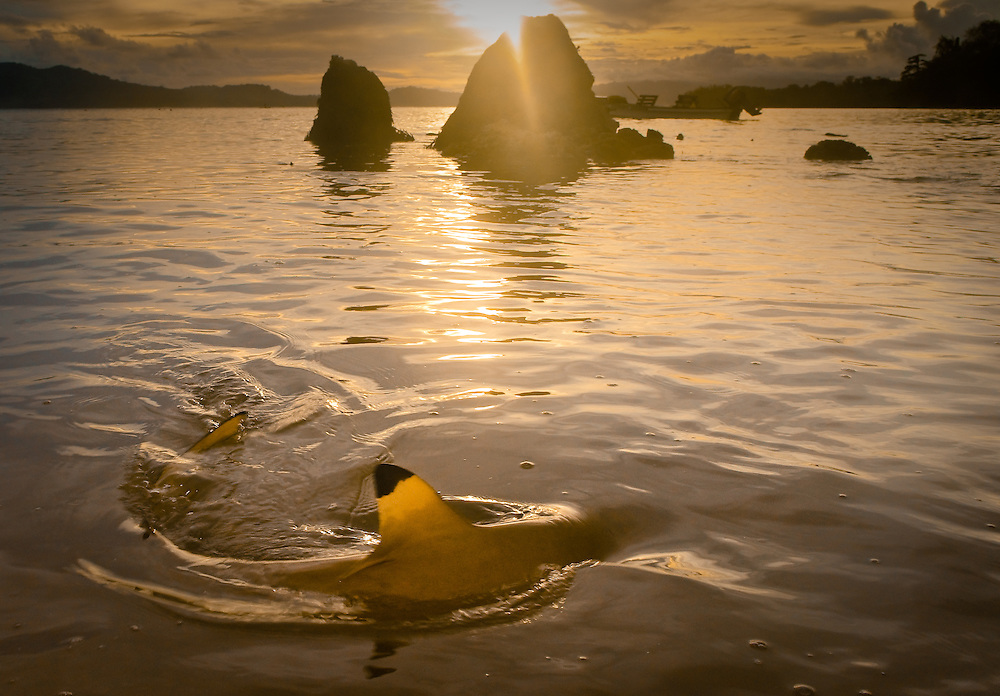 A black-tipped reef shark fin pierces the water off Tetapare at sunset