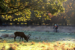 A cyclist rides past a deer in the cold morning frost at Richmond Park as weather in the UK turns to freezing. London, United Kingdom. Tuesday, 19th November 2013. Picture by Ben Stevens / i-Images