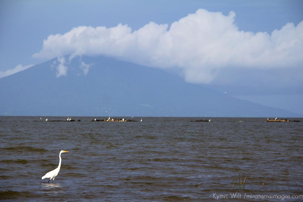 Central America, Nicaragua, Lake Nicaragua. Egret of Lake Nicaragua and Maderas Volcano.