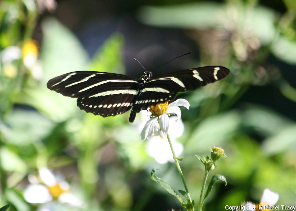 A Zebra Longwing Butterfly, Georgia, feeds on the nectar of Jekyll Island wild flowers