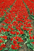Field of red tulips in Holland.