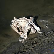 Large dead fish skull