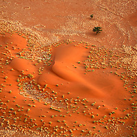 Africa, Namibia, Sossusvlei. Aerial view of red dunes, grasses, fairy circles, and Camel Thorn Acacias of the NamibRand Nature Reserve by hot air balloon.