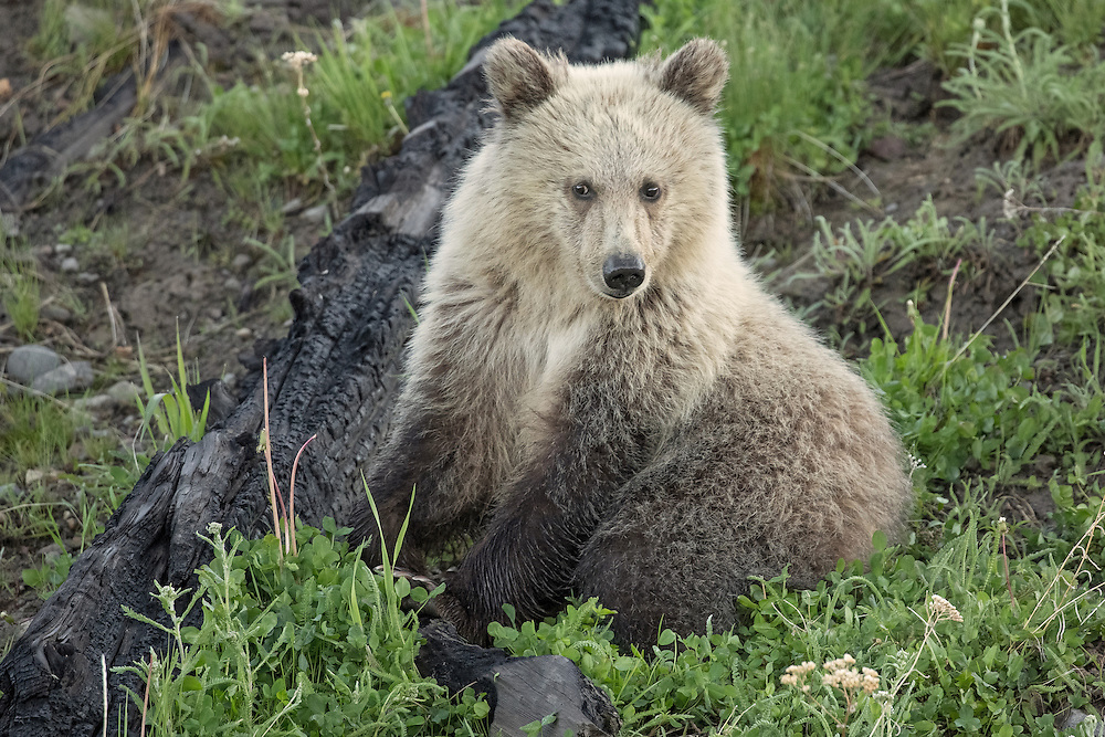 During their first few years of life, grizzly cubs never leave their mother's side. They will stay with her for up to three years, learning the ways of the wild which will help ensure their survival. This yearling cub, nicknamed, Snow, will remain with his mother for one to two more years, until she is ready to breed again.
