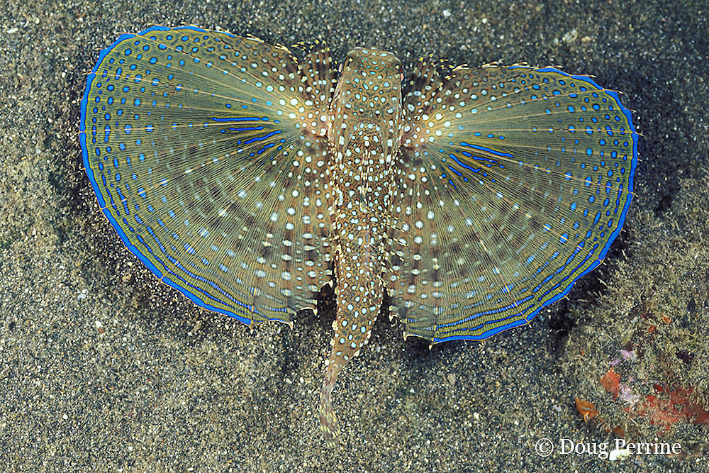 flying gurnard, Dactylopterus volitans, with pectoral fins spread to display startle coloration, St. Vincent, West Indies ( Caribbean Sea )