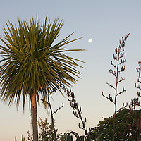 New Zealand, North Island, Waitakere Regional Park, Moon rises behind temperate rainforest at sunset on summer evening