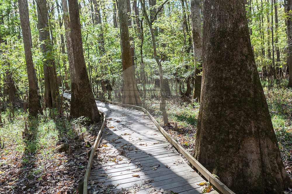 The boardwalk loop winds through bald cypress trees at Congaree National Park, the largest intact expanse of old growth bottomland hardwood forest remaining in the southeastern United States in Columbia, South Carolina.