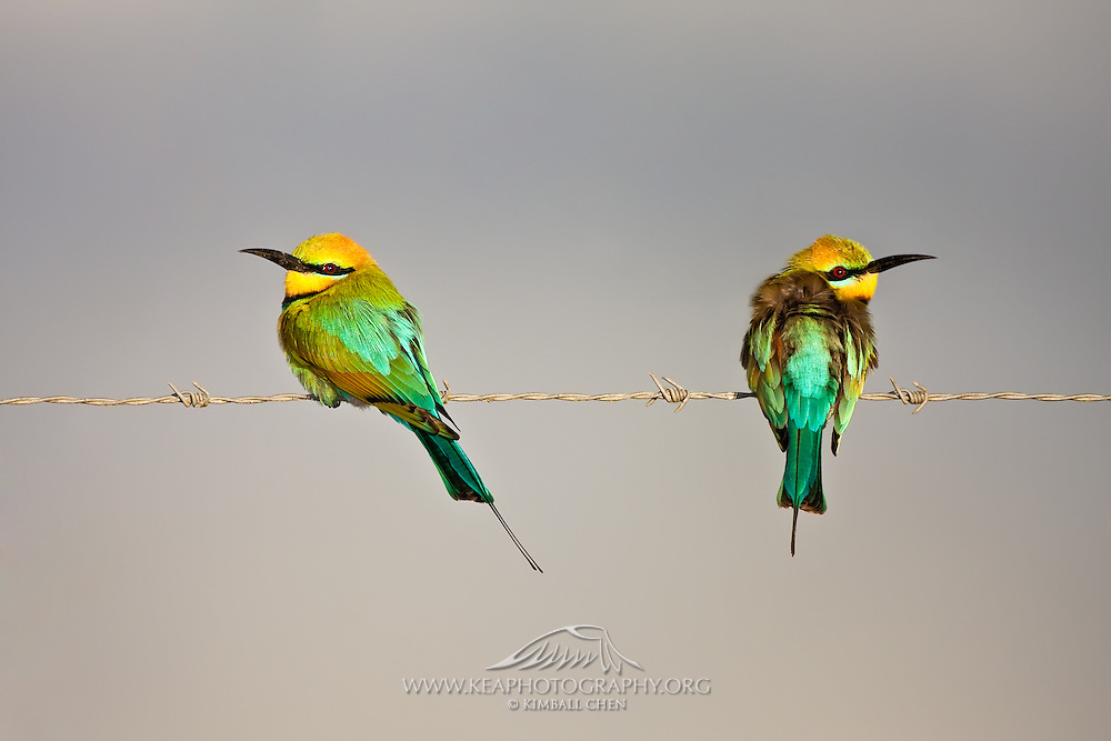 The Rainbow Bee-eater is very appropriately named, both for its colors and its diet.  It can expertly de-sting bees, wasps, and hornets, by rubbing and bashing the insect against a perch before eating it.  It is the only bee-eater found in Australia, and can eat as many as 100 bees each day!