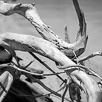A convoluted piece of driftwood on a Florida Keys beach.