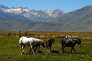 Grazing horses on Hunewill Dude Ranch in the Sierras near Bridgeport; view of Sawtooth Mountains in the background