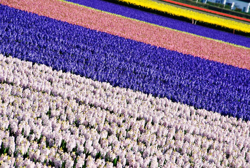 Bulb field at Keukenhof Spring Tulip Gardens, Lisse, The Netherlands.
