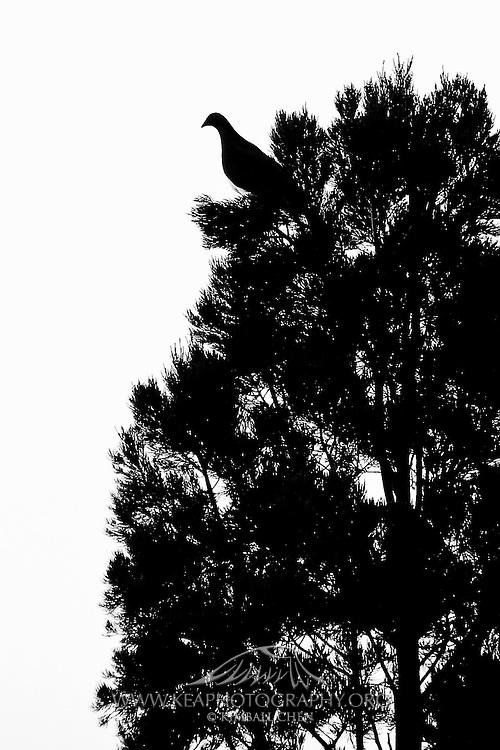 Wood Pigeon, Pigeon Island, New Zealand