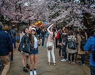Selfies and the sakura cherry blossoms.  Ueno Park, Tokyo, Japan