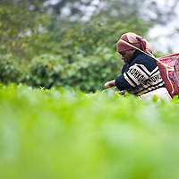 By some estimates, there are over 6,000 tea farm workers in Nyeri County.  Even though tea leaf picking is time intensive and stressful on the body, women occupy most of these jobs.