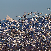 A very large flock of snow geese (Chen caerulescens) fly over the Skagit Valley of Washington state with Mount Shuksan in the background. Tens of thousands of snow geese winter in the Skagit Valley, feeding in farmers' fields. They breed during the summer months on the upper reaches of Alaska, Canada, Greenland and Siberia. Mount Shuksan is a 9,131 foot (2,783 meter) mountain in the North Cascades.