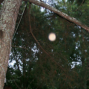 A round, peach colored orb floating up near a large pine tree during daylight.