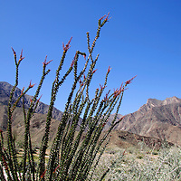 USA, California, San Diego County. Ocotillo graces the landscape of Anza-Borrego Desert State Park.